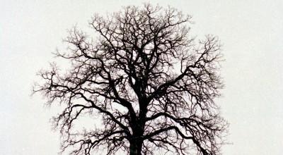 The Oak Tree