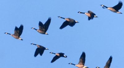 Lessons From Geese Revisited – honk honk